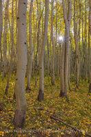Autumn Sunlight through Aspen 104-4