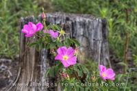 Colorado Wild Roses 1