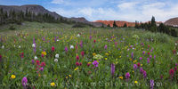 Colorado Wildflower Panorama 2