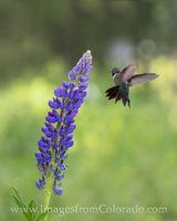Lipine and a Hummingbird