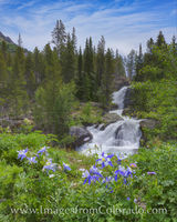 Columbine at Cascade Falls, Indian Peaks 1