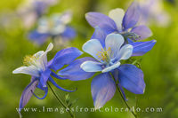 Columbine in Morning Sunshine 2