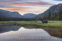 East Inlets Moose at Sunrise, RMNP 1