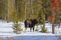 Female Moose in the Snow 4