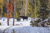 Moose in Snow near Winter Park 1230-2