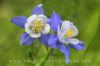 Summer Columbine in the Rocky Mountains 1