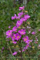 Wild Roses in Summer 1