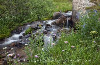 Colorado Wildflower images, Colorado Wildflower pictures, winter park images, grand county, berthoud pass, alpine daisies