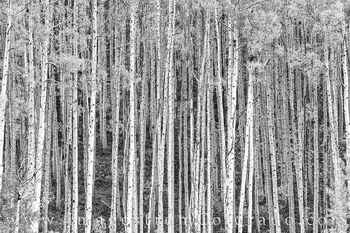 aspen, black and white, autumn, trees, leaves