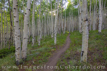Aspen Forest on Mt Elbert Trail 1