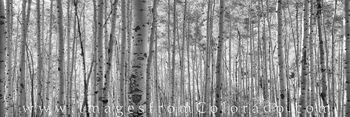 colorado black and white, maroon bells, maroon bells images, aspen images, aspen colorado, black and white, aspen trees, aspen black and white, aspen panorama
