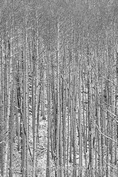 black and white images, black and white, maroon bells, aspen trees, maroon bells wilderness, aspen trunks, snow, autumn, october, maroon lake, solitude