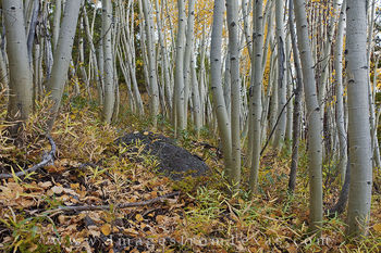 aspen trees, aspen leaves, autumn, winter park, grand county, aspen, trees, trunks
