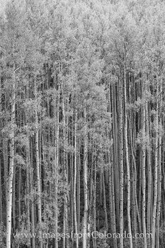 colorado black and white, black and white, colorado, maroon bells, aspen, aspen trees, aspen trunks, maroon lake, crater lake, autumn, fall
