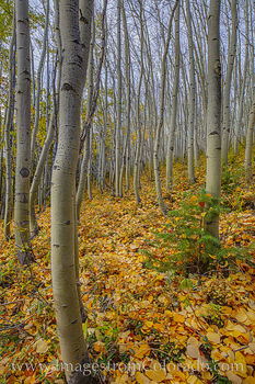 aspen, fall, autumn, gold, fraser, winter park, fraser valley, colorado fall prints, prints for sale