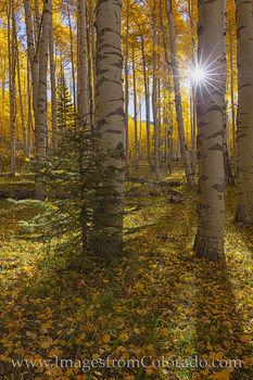 Autumn Sunlight through Aspen 104-3