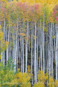 aspen, tree trunks, yellow, gold, orange, maroon bells, fall, autumn, october