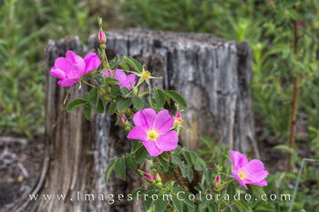 colorado wildflowers, wild roses, colorado images, photos from colorado colorado