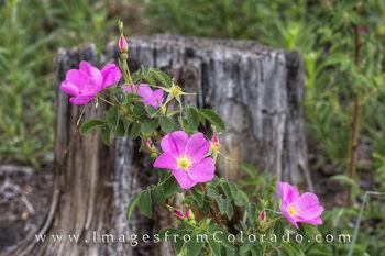 colorado wildflowers, wild roses, colorado images, photos from colorado colorado