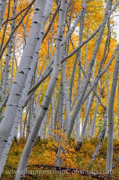 Criss-Cross Autumn Aspen 104-1