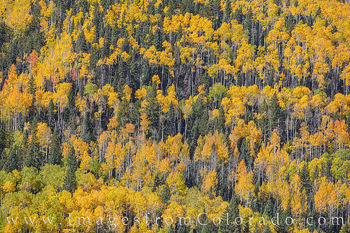 aspen, leaves, fall, color, autumn, gold, orange, owl creek pass, cimarron, silver jack reservoir, october, colorado