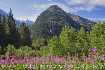 Fireweed in Summit County 1
