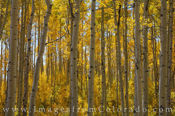 grand mesa, old mesa road, fall, aspen, autumn, gold, yellow, orange, morning light.