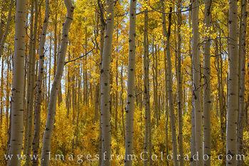 Grand Mesa Autumn Aspen 103-1