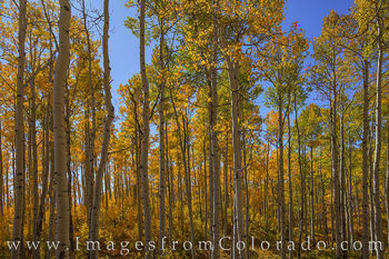 grand mesa, old grand mesa road, aspen, orange, gold, fall, autumn