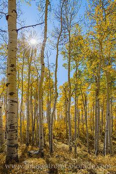fall colors prints, colorado prints, grand mesa, aspen, gold, cold, sunburst