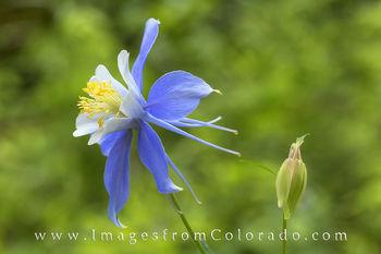 colorado wildflowers, columbine, flowers
