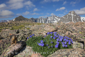 Wildflowers, Marmots, and Mt Holy Cross 1