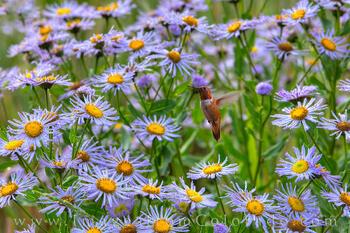 Hummingbird in Purple Asters 723-1