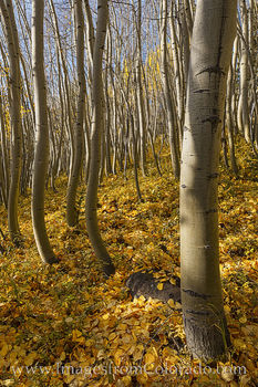 aspen, fall, leaves, gold, winter park, fraser, grand county