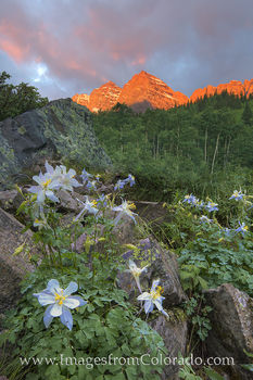 Columbine, Colorado wildflowers, maroon bells, aspen, aspen Colorado, crater lake, maroon lake, blooms, summer, Colorado, june, july, rocky mountain flowers