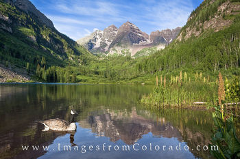 Maroon Bells and a Canada Goose 1