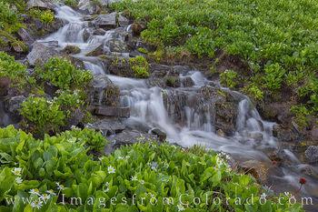 marsh marigolds, cascade, mount huron, water, flowers, hiking, summer, 14er