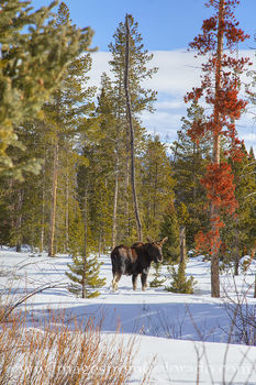 moose, bull moose, snow, winter park, fraser, grand lake, byers peak, grand county, winter, december, wildlife