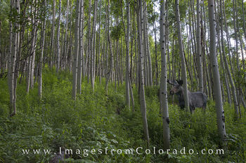 Moose in an Aspen Forest 1