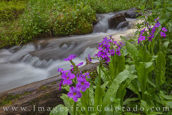 Parry's Primrose near Berthoud Pass 718-3