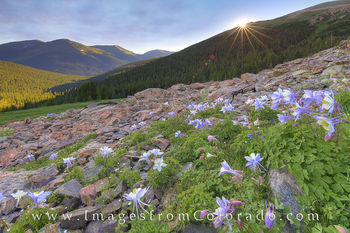 Colorado wildflower photos, Colorado wildflower prints, columbine, Arapaho national forest, butler gulch, winter park, Berthoud pass