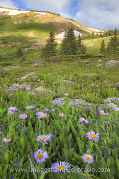 These purple daisies grow at about 11, 000' on a trail going up Berthoud Pass from Winter Park, Colorado. Each summer, many varieties of wildflowers fill the slopes and valleys in thi
