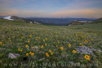 sunflowers, rollins pass, morning, byers peak, winter park, wildflowers, summer