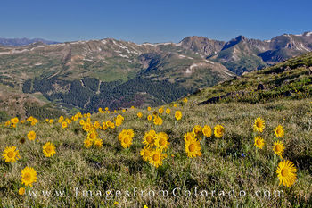 colorado wildflowers, colorado wildflower photos, loveland pass, breckenridge, rocky mountains