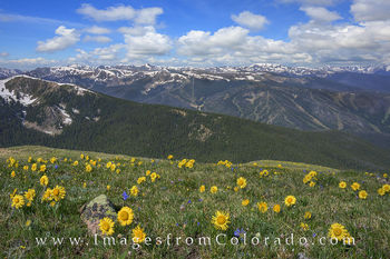 Sunflowers, Colorado wildflower photos, wildflower prints, winter park, winter park ski resort images, james peak, james peak trail, rollins pass