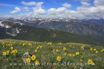 Sunflowers, Colorado wildflower photos, wildflower prints, winter park, winter park ski resort images, james peak, james peak trail, rollins pass