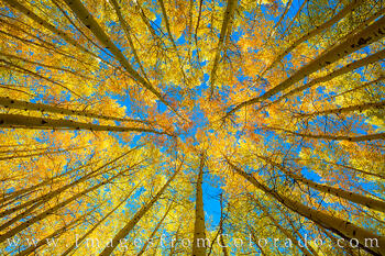 aspen, fall, autumn, san juans, trees, up, october
