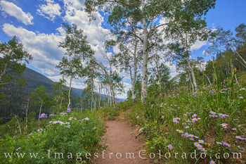 wildflowers, colorado wildflowers, upper piney trail, upper piney lake, aspen, hiking, trail, path, summer, vail, summit county