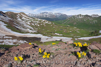 west maroon pass, wildflowers, colorado flowers, crested butte, aspen, maroon bells, maroon pass, sunflowers