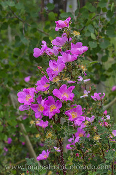 wild roses, wildflowers, colorado wildflowers, winter park, hiking, summer, spring, colorado